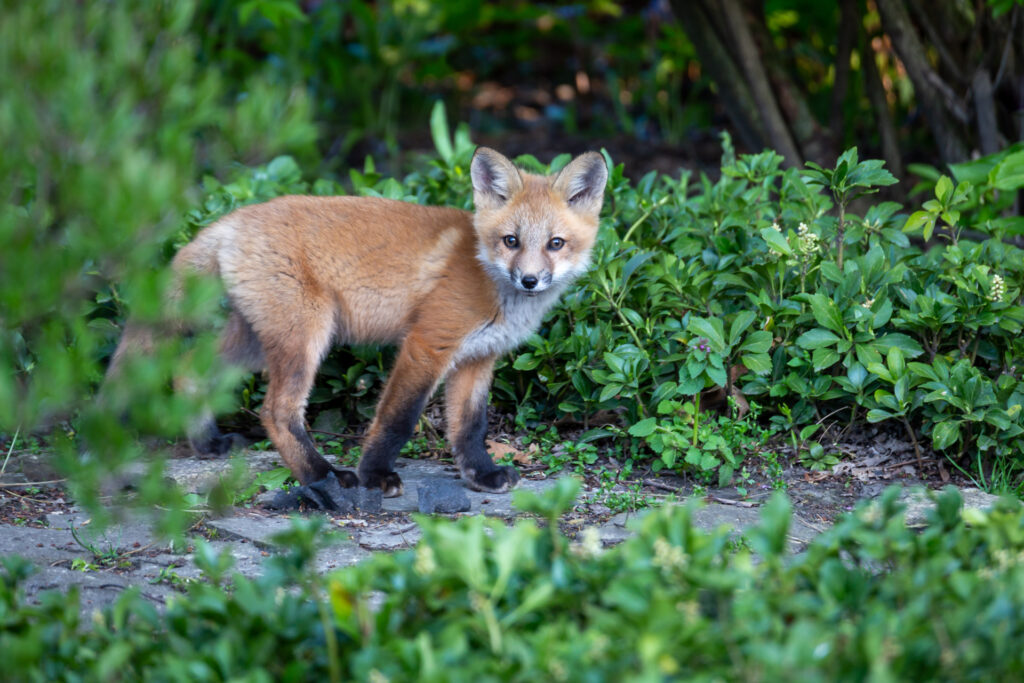 Fox kit photograph